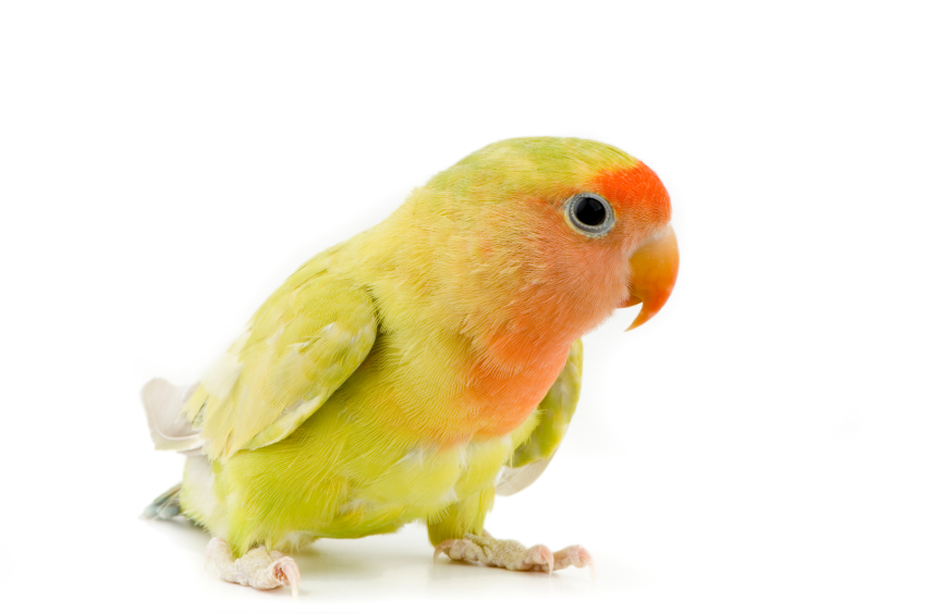 parrot in front of a white background